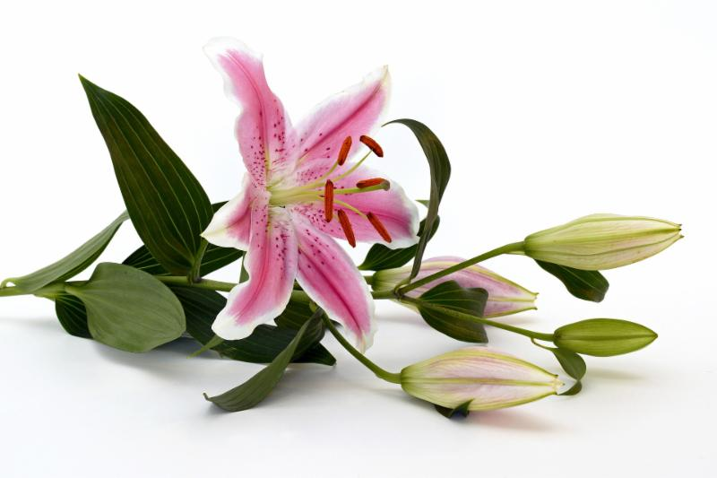 Pink Lily full flower 2019