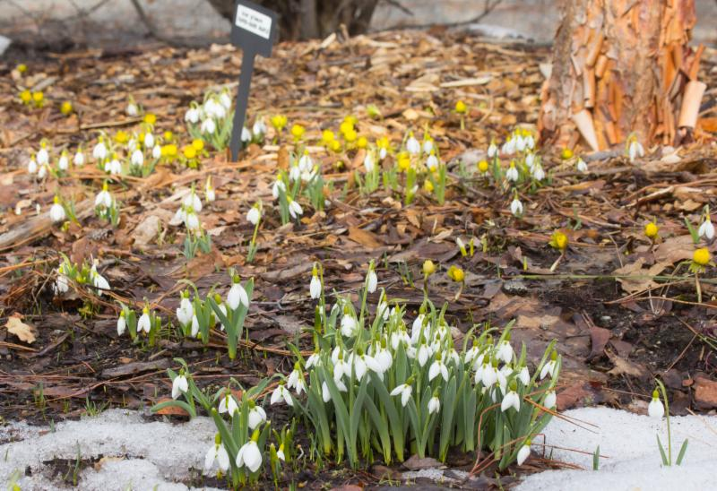 snowdrops and anemones