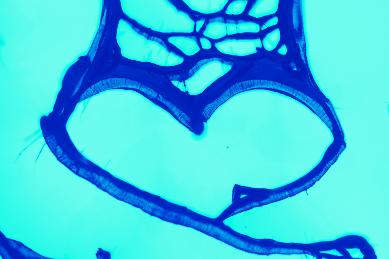 A recolored optical image obtained by MIT researchers showing a carbon nanotube cell shaped like a heart. Image, Ashley L. Kaiser