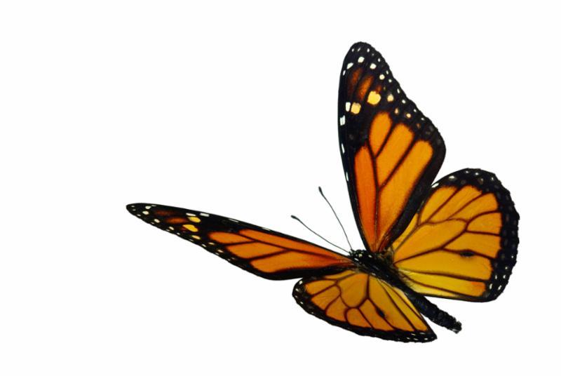 monarch_in_flight.jpg