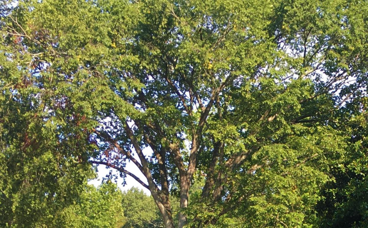 7-19-20 trees at Sabine Hall