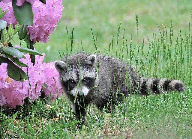 Baby raccoon near rhodedendron
