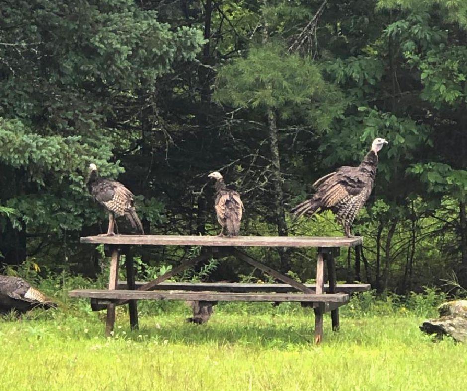 Wild turkeys on picnic table