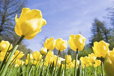 yellow-tulip-field.jpg