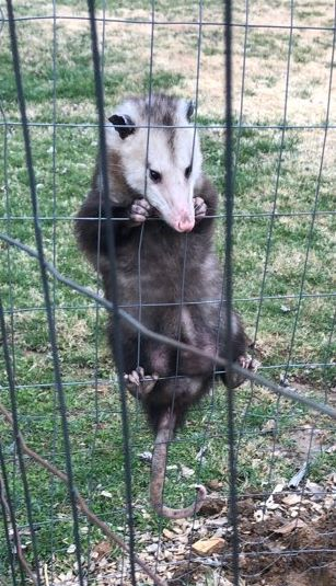 possum on a fence