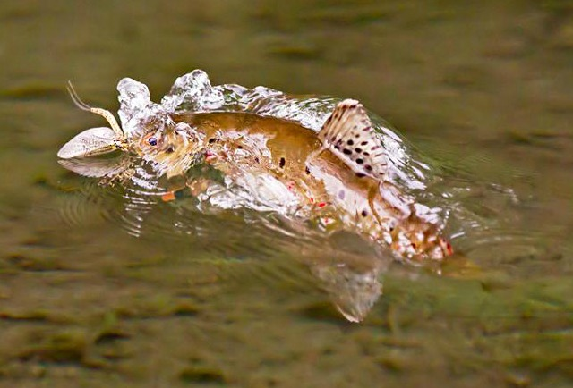 Trout & Mayfly