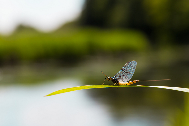 Mayfly on a reed