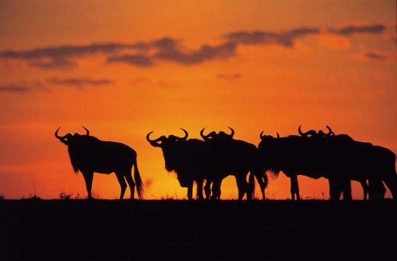 Wildebeest Sunset
