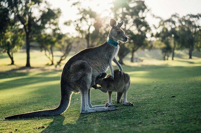 Australia kangaroo feeding offspring