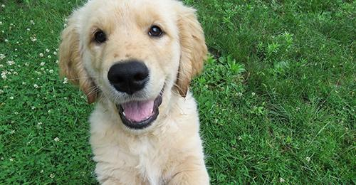 golden retriever puppy looking at the camera with a smile