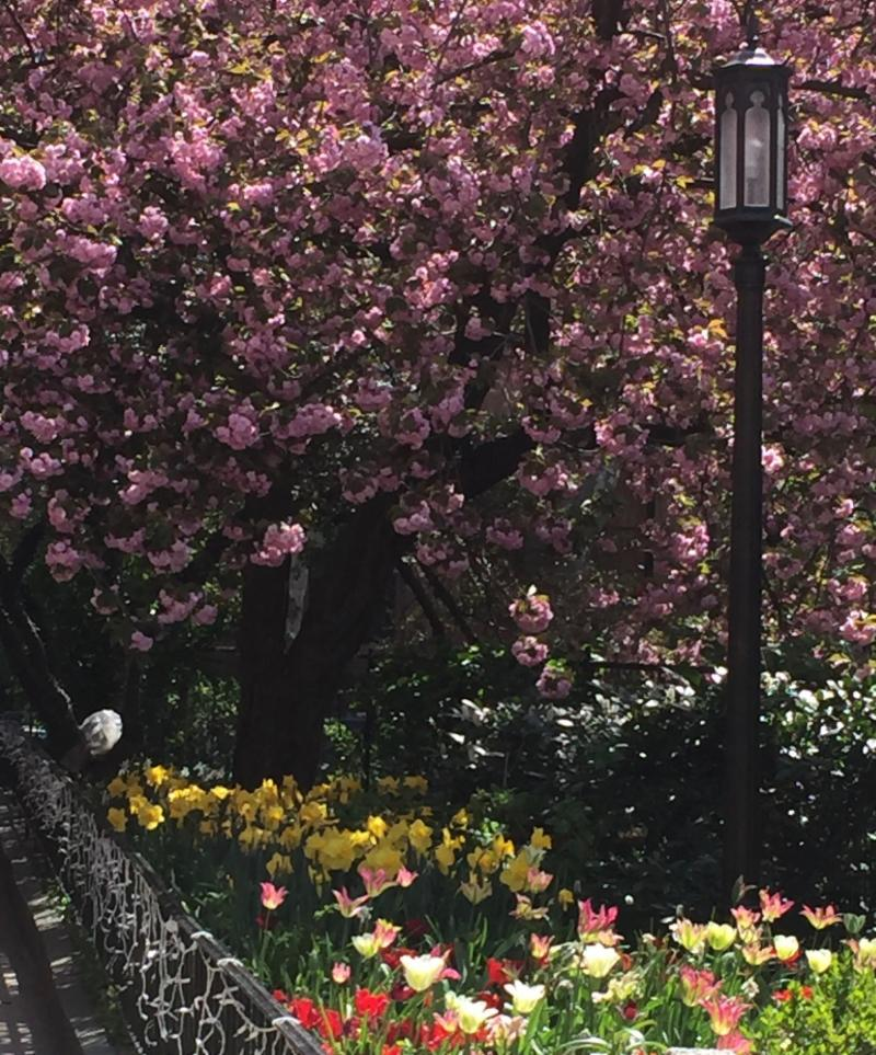 Cherry tree & tulips