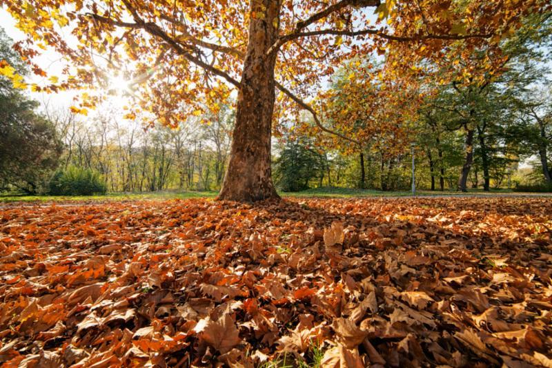 tree_with_fallen_leaves.jpg