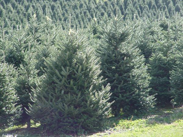 Fraser fir, the predominant species of Christmas tree grown in North Carolina taken by Jill Sidebottom
