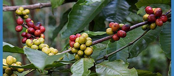 coffee enema research