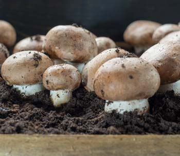 Cultivated Mushrooms