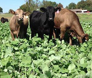 Arkansas Cows Grazing Rape Plants
