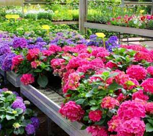 Hydrangeas in Greenhouse