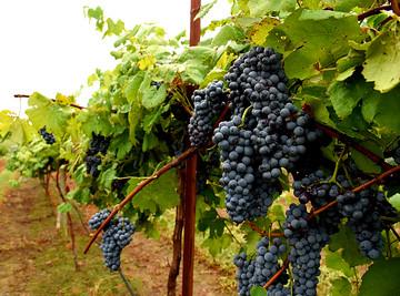 Arkansas-grapes