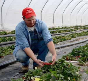 Horticulture Technician Checks High Tunnel Strawberries
