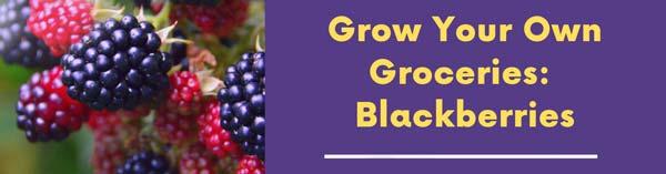 Grow Your Own Groceries: Blackberries