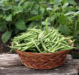 Green Beans in the Garden