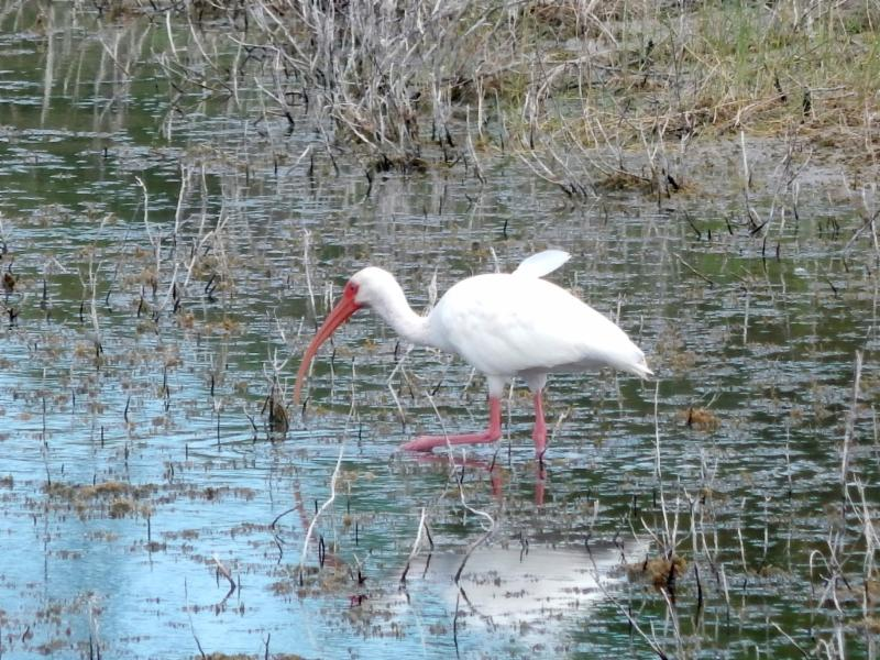 white ibis Nicole Young