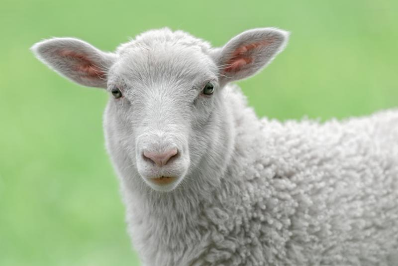 white_lamb_face.jpg