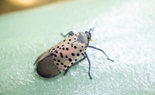 Top view of spotted lanternfly sitting on a fence_ Berks County_ Pennslvania.