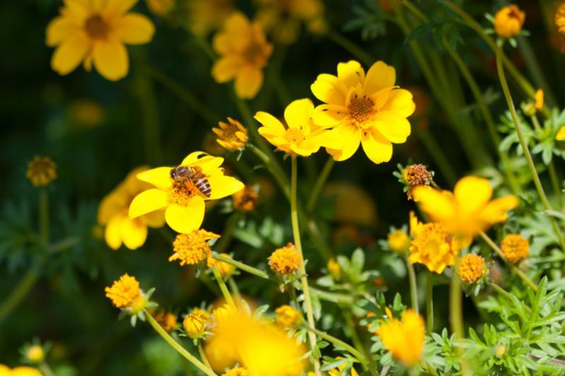 bee_on_yellow_flower.jpg