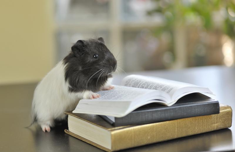 guinea pig reading book, shoot in studio