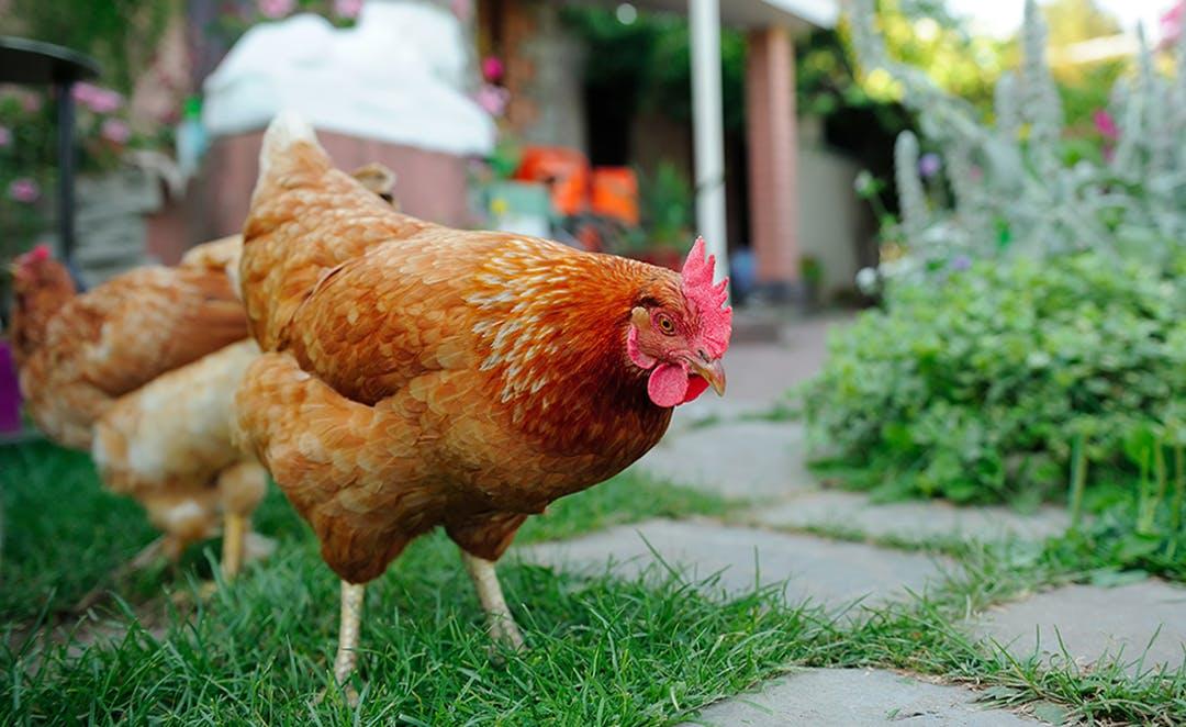 A chicken outside in a backyard