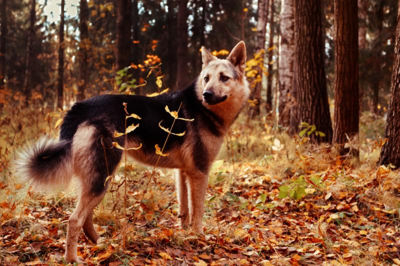 dog_in_fall_forest.jpg