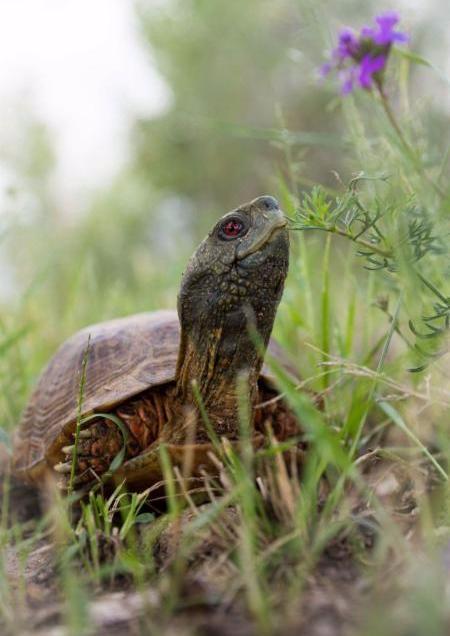 Turtle- Tim L