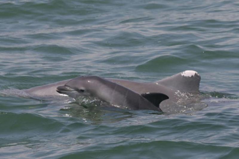 Bottlenose dolphins in Gulf