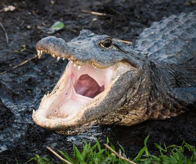 Gator Season