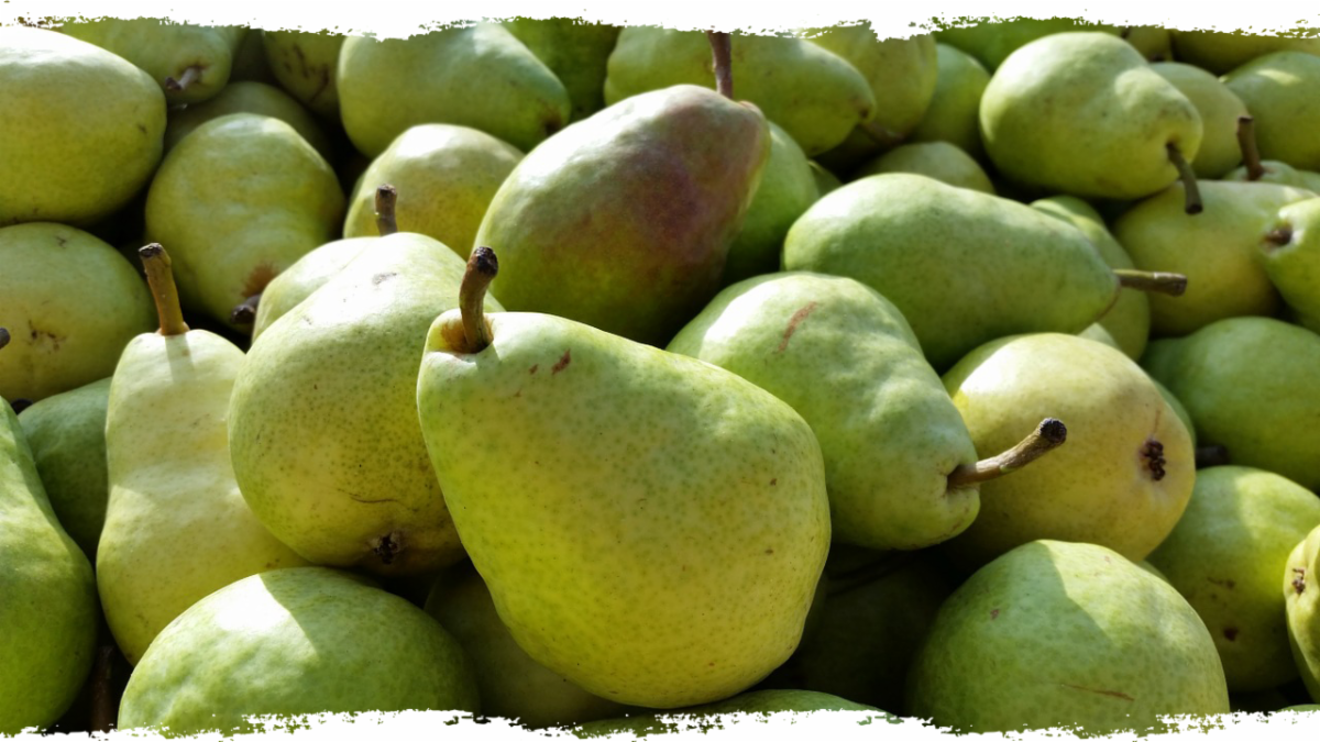 A collection of green Bartlett pears