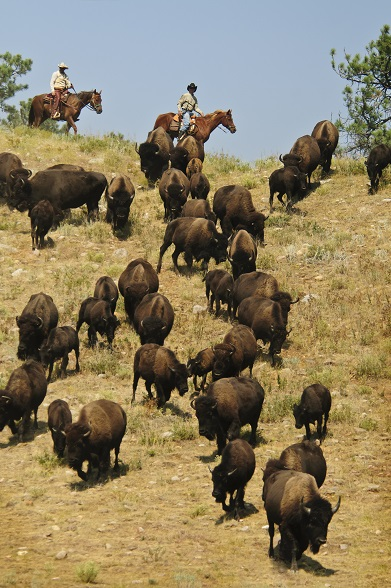 CSP Buffalo Roundup