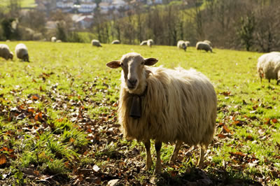 wooly-bell-sheep.jpg