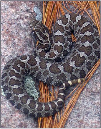Eastern Mass Rattlesnake