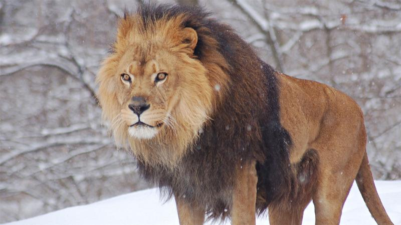 A photo of a lion