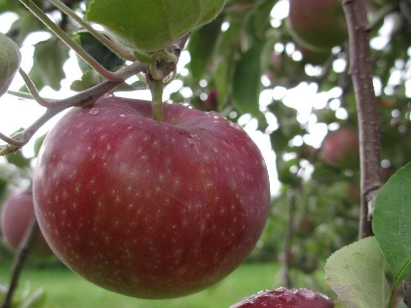 photo credit Champlain Orchards