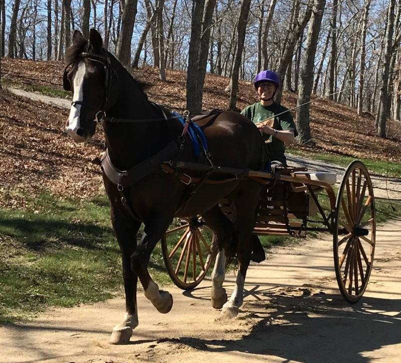 Morgan horse with carriage driven by Victoria Surr