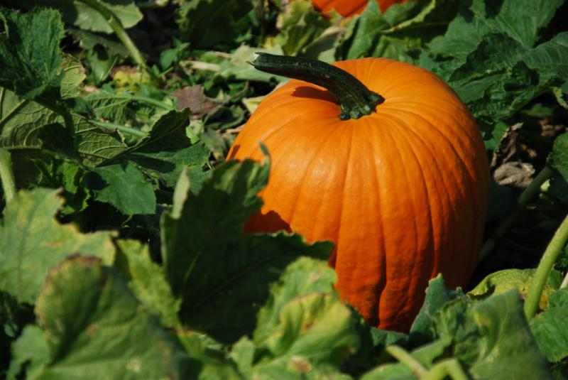 The Pumpkin Patch arrives at Wells Brothers Farm Store in late September