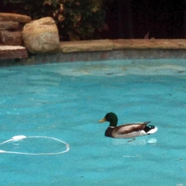 Backyard ducks photo