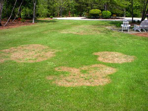 Brown Patch Fungus in fall lawns.