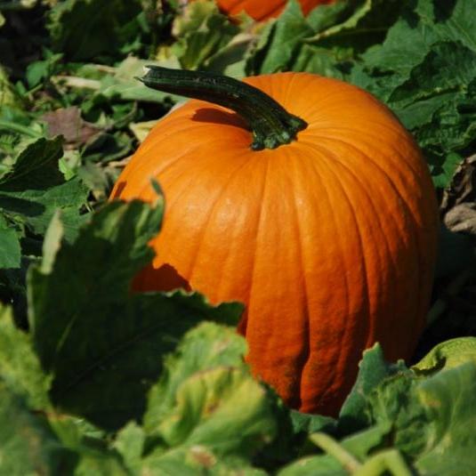 Do pumpkins grow in Plano?