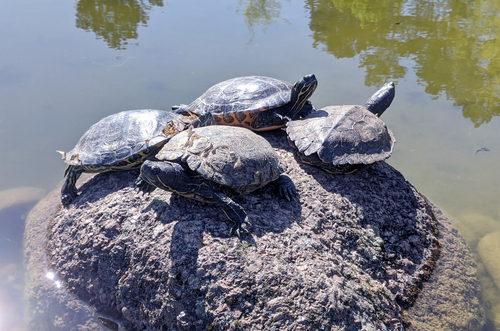 Close-up of Four Turtles Resting Together on a Rock  stone  in a Shallow Pond  water  on a Sunny Spring Day