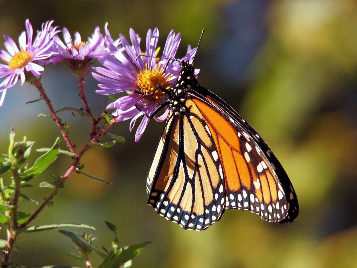 Monarch Butterfly - Image by PublicDomainPictures from Pixabay