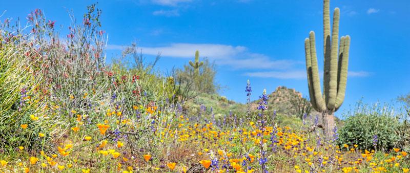 Spring flowers in desert