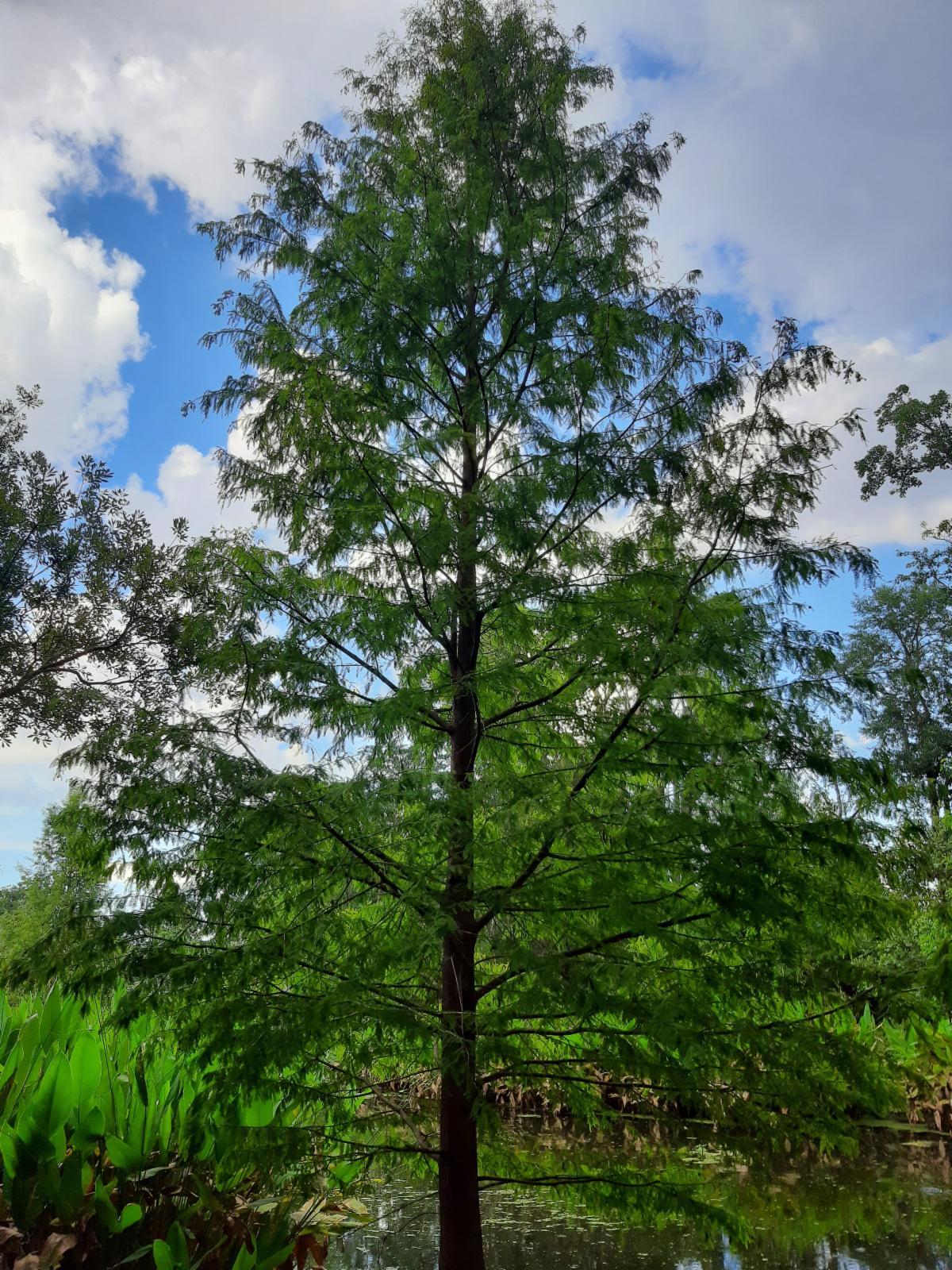 Photo of cypress tree